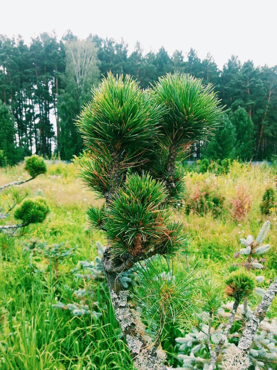 Кедровая сосна сибирская выращивание 86