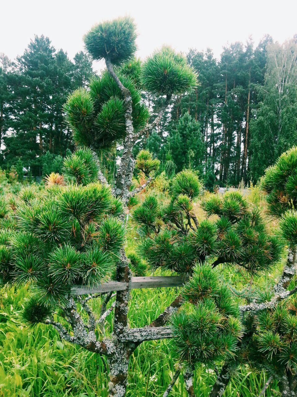 Кедровая сосна сибирская выращивание 93