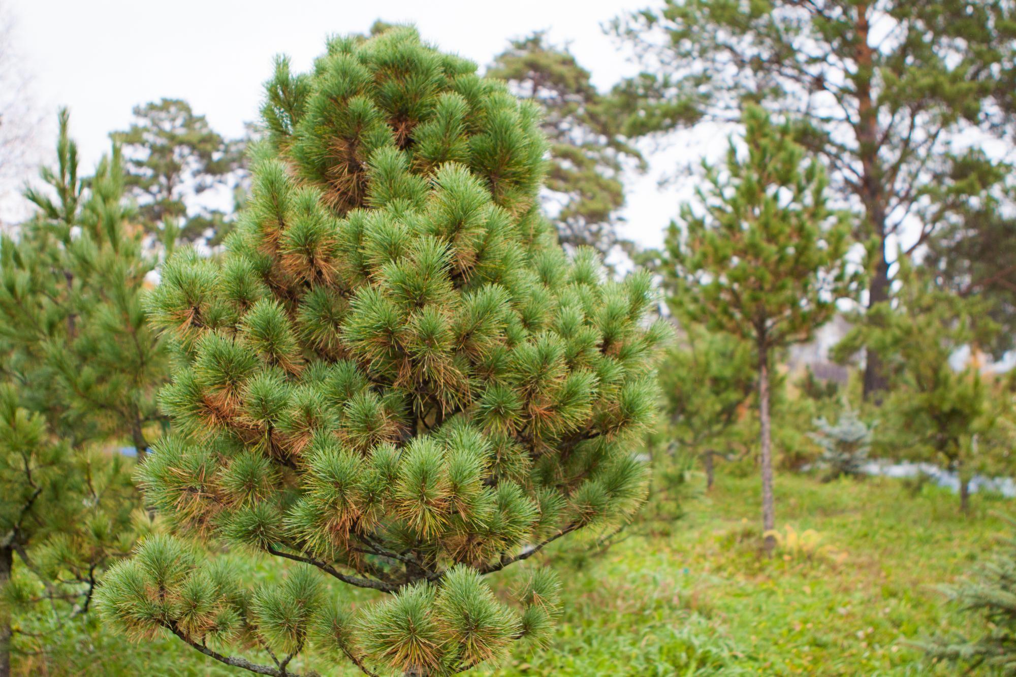 ложной кедр картинка дерева всего