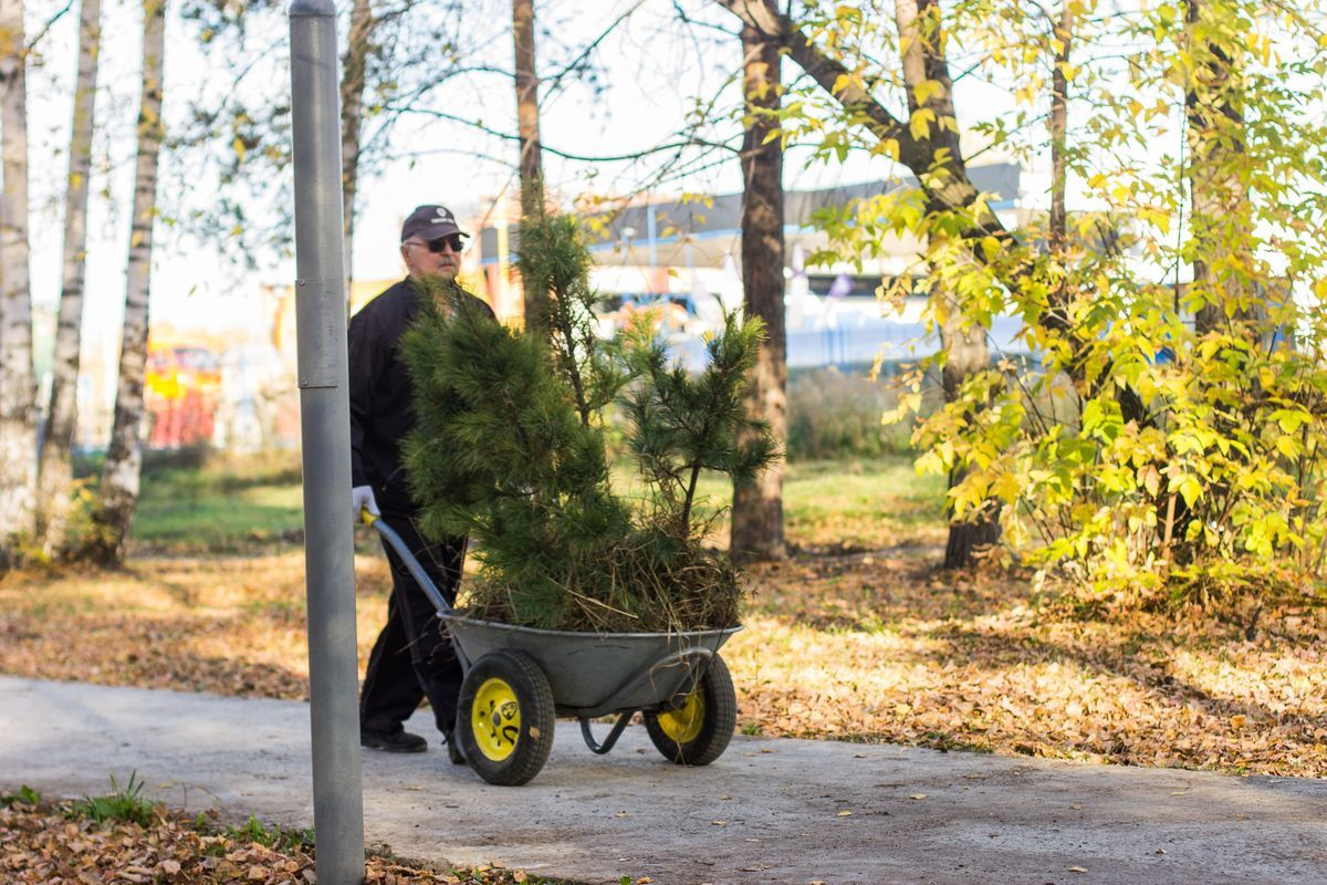 В эти выходные в Томском районе высадят почти 19 тысяч саженцев сосны